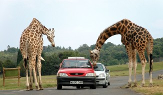 Giraffes West Midlands Safari Park